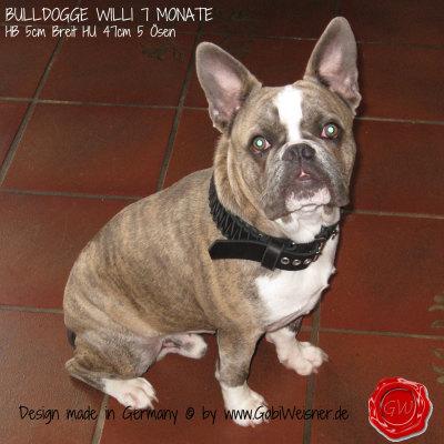 BULLDOGGE-WILLI-7-MONATE-HB-5cm-Breit-HU-47cm-5-Ösen-2