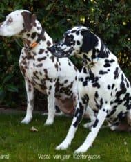hundehalsband-leder-mit-brummelhaken-2