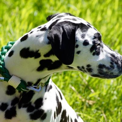 Dog Collar pompös Grün