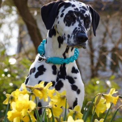 Dog Collar pompös Türkis