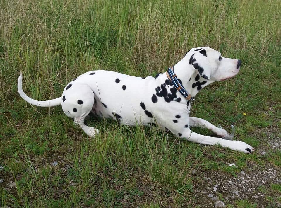 Hundehalsband Leder Blau Kork Tunne-3