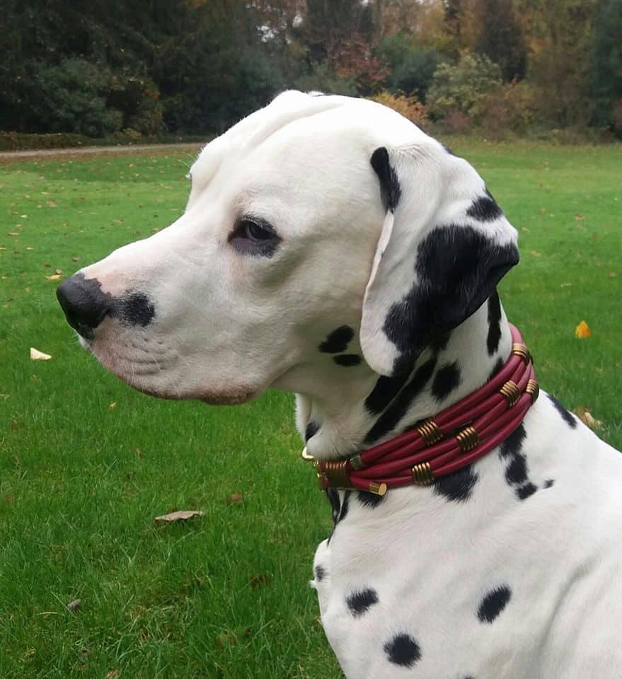 Hundehalsband Leder 5 cm breit