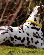 hundehalsband-leder-rund-geflochten-gelb-4
