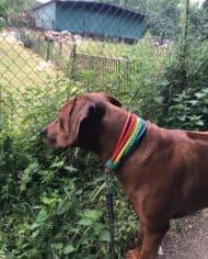 Hundehalsband Regenbogen Simba 2