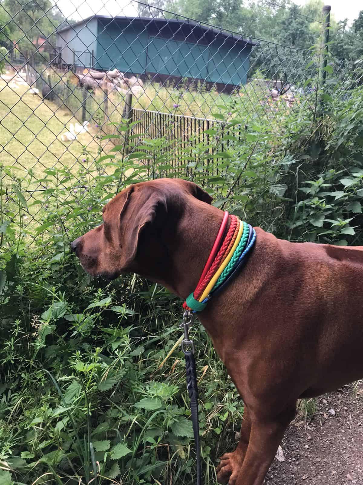 Hundehalsband Regenbogen Fotoshooting mit Simba