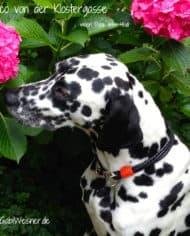 hundehalsband-leder-shop-vasco