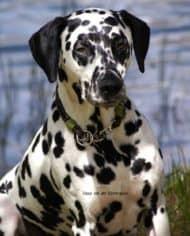 hundehalsband-leder-shop-vasco-2
