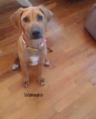hundehalsband-pink-wamwara