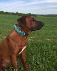 Hundehalsband Leder 5 cm breit Rhodesian Ridgeback schwarz tuerkis 5