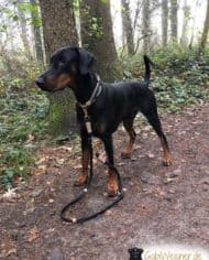 Hundehalsband-Leder-Mix-mit-Ohrtunnel-in-Schwarz-dobermann-2
