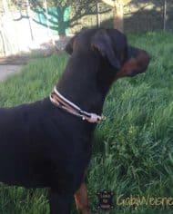 Hundehalsband-mit-Ohrtunnel-Schwarz-Beige-5