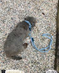 Hundehalsband-und-Leine-Leder-Hellblau-Destiny-2