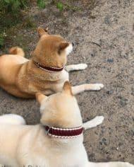 hundehalsband-leder-dunkelrot-3-cm-breit-1