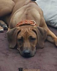 Hundehalsband-aus-Fettleder-in-Cognac-Amari-1