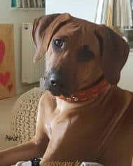 Hundehalsband-aus-Fettleder-in-Cognac-Amari-3