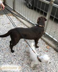 Labrador-Hundeleine-zum-Mitwachsen-5