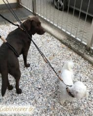 Labrador-Hundeleine-zum-Mitwachsen-6
