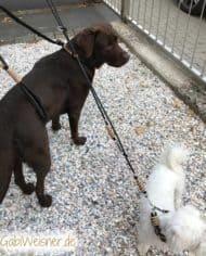 Labrador-Hundeleine-zum-Mitwachsen-7