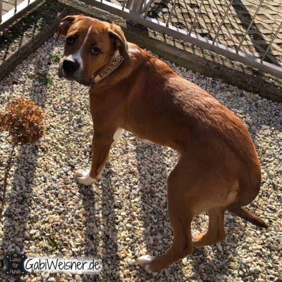Hundehalsband mit Zugstopp das Goldstück für große Hunde