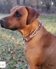 Hundehalsband-Leder-Mix-in-Braun-Perlmutt.-Rhodesian-Ridgeback-Robby-2