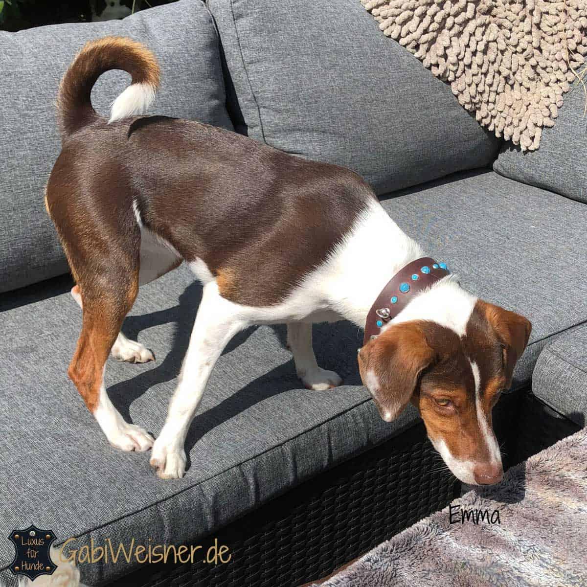 Hundehalsband 3 cm breit Leder mit Türkisen Nieten Jack Russell Terrier Emma