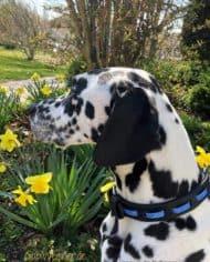Hundehalsband-Leder-und-Stein_Vasco_blau_1
