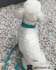 Hundehalsband-4-cm-breit-Leder-in-Türkis_Cotton-de-Tulear-Carlos_1