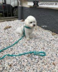 Hundehalsband-4-cm-breit-Leder-in-Türkis_Cotton-de-Tulear-Carlos_2