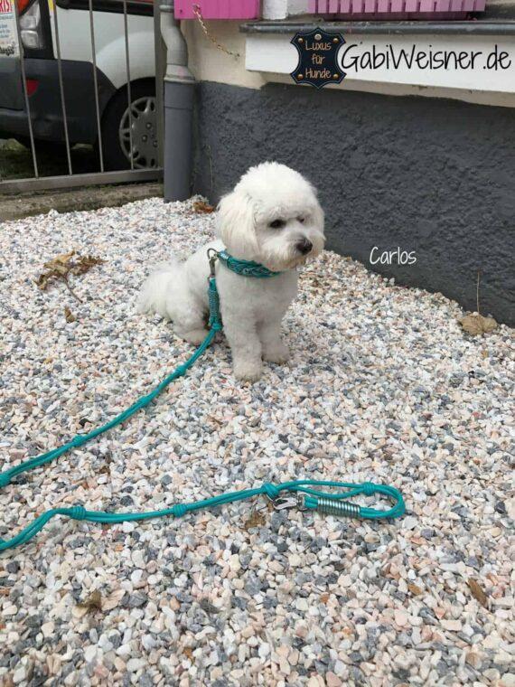 Hundehalsband 4 cm breit Leder in Türkis, Cotton de Tulear, Carlos