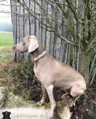 hundehalsband-Taupe-Silva-1