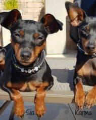 Mini_Halsband_kleine_Hunde_Strass_Klickverschluss_Pinscher_2