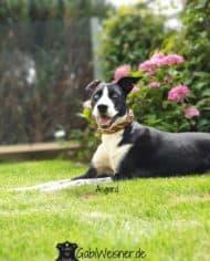 Hundehalsband-Leder-2,5-cm-breit-mit-Kreuz-in-Gelb-Grün-Asgard-3