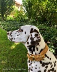 Hundehalsband_dalmatiner_honig_noia_2