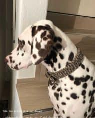 Hundehalsband_dalmatiner_tweed_noia_1