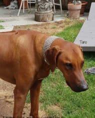 Hundehalsband-Paracord-Rhodesian-Ridgeback-Taro-2