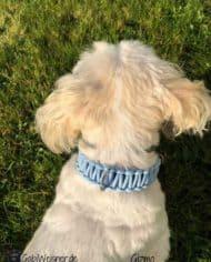 knotenhalsband-hellblau-malteserhund-Gizmo-2