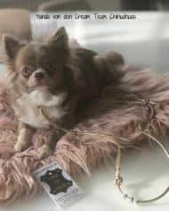 Yanda-von-den-Cream-Team-Chihuahuas