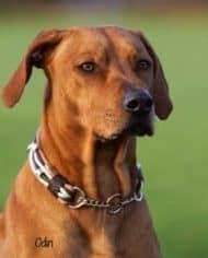 Hundehalsband-Leder-Mix-Beige-Braun-bis-45-cm-HU-Odin-1