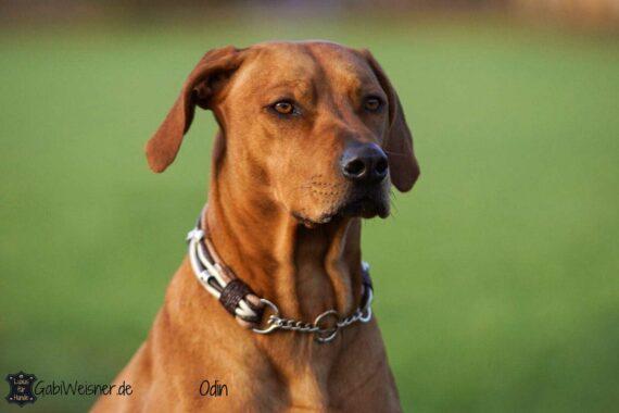 Hundehalsband Leder Mix in Beige/Braun. Rhodesian Ridgeback Odin
