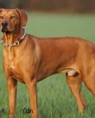 Hundehalsband-Leder-Mix-Beige-Braun-bis-45-cm-HU-Odin-3