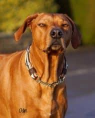 Hundehalsband-Leder-Mix-Beige-Braun-bis-45-cm-HU-Odin-4