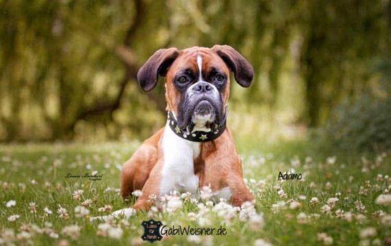 Junghund Lederhalsband zum Mitwachsen Boxer Adiamo