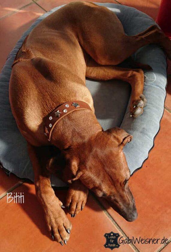 Junghund Halsband zum Mitwachsen, Rhodesian Ridgeback Bititi