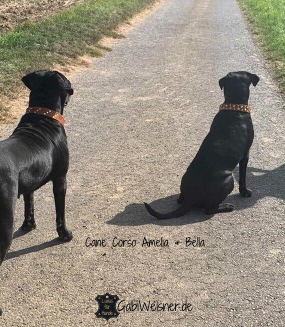 Hundehalsband mit Sternen, Leder 4 cm extra breit. Cane Corso Amelia und Bella