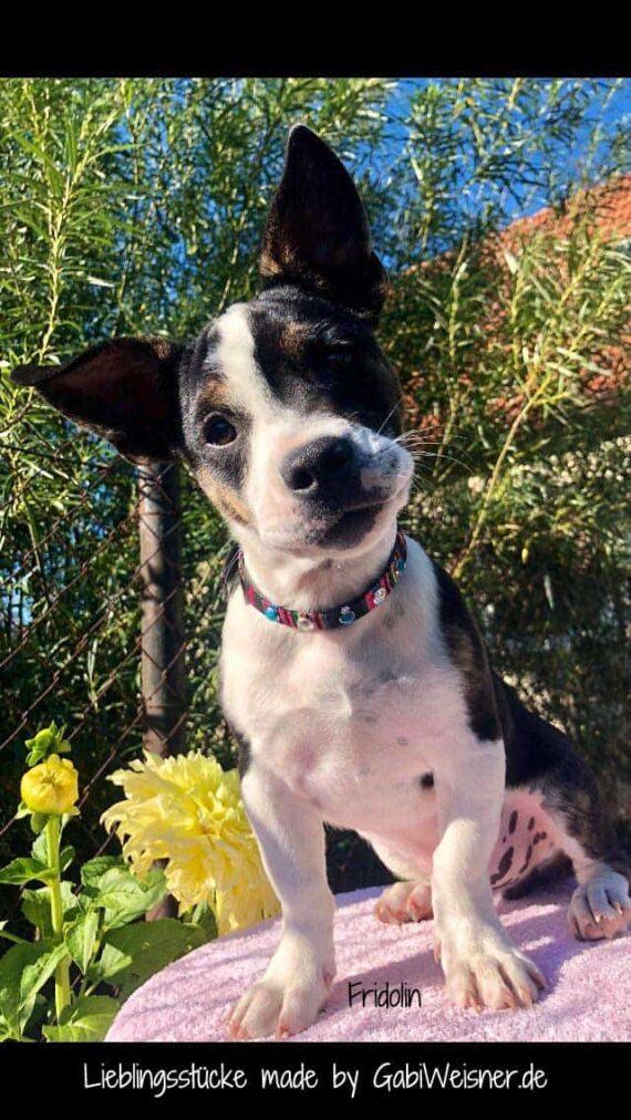 Welpenhalsband für kleine Hunde