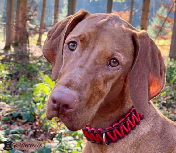 Hundehalsband Leder 25 mm breit, Nappaleder in Rot. magyar vizsla bonnie
