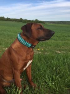Hundehalsband Leder 5 cm breit Rhodesian Ridgeback schwarz tuerkis