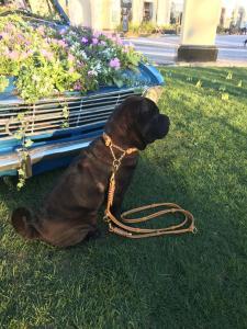 Hundehalsband-Leder-Cognac-Zugstopp-Gold-Cathy-2