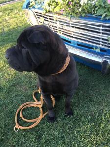Hundehalsband-Leder-Cognac-Zugstopp-Gold-Cathy-5