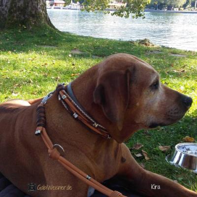 Hundehalsband-Leine-Rhodesian-Ridgeback-Kira-tegernsee